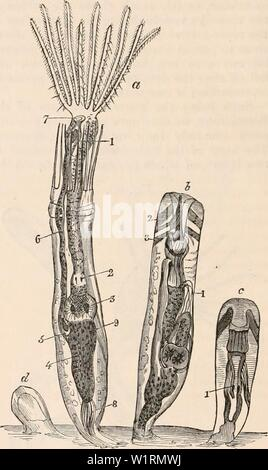 Archive image from page 71 of The cyclopædia of anatomy and Stock Photo