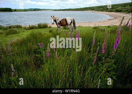 Wild ponies grazing amongst the wild flowers of Bodmin Moor on the shores of Colliford Lake in Cornwall, England. - Stock Photo