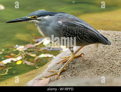 Striated Heron - Butorides striata also mangrove heron, little heron or green-backed heron, mostly non-migratory, breeding in the Old World tropics fr - Stock Photo