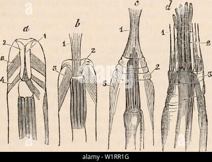 Archive image from page 74 of The cyclopædia of anatomy and - Stock Photo