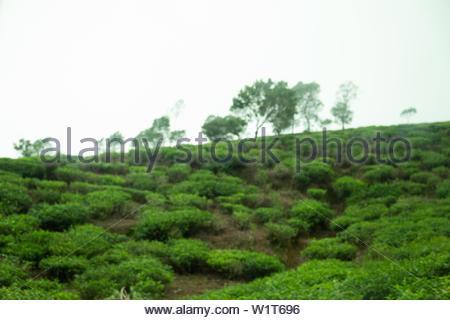 Tea-Plantage in Sri Lanka - Stock Photo