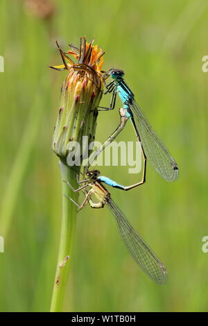 A pair of blue tailed damsel flies (Ischnura elegans) mating in the wheels position on a dandelion (Taraxacum) flower bud - Stock Photo