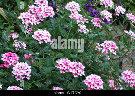 lush green bush of pink and purple verbena flower - Stock Photo
