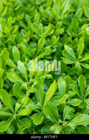 Natural Green Background with Schefflera Plant Leaf. Spring background concept image. - Stock Photo