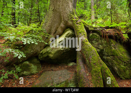 Roots of a spruce, hiking path to Grosser Falkenstein, Bavarian Forest, Bavaria, Germany - Stock Photo