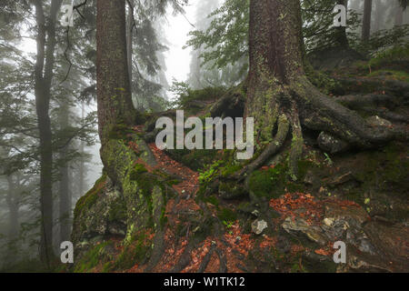 Roots of a spruce, hiking path to Großer Falkenstein, Bavarian Forest, Bavaria, Germany - Stock Photo
