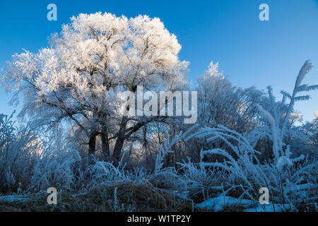 trees with whitefrost in winter, Willow, Salix spec., Upper Bavaria, Germany, Europe - Stock Photo