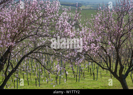 Almond blossom in the Palatinate Forest, Herxheim am Berg, German Wine Route, Palatinate, Rhineland-Palatinate, Germany, Europe - Stock Photo