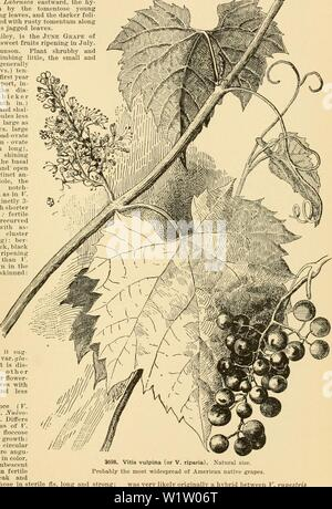 Archive image from page 536 of Cyclopedia of American horticulture - Stock Photo
