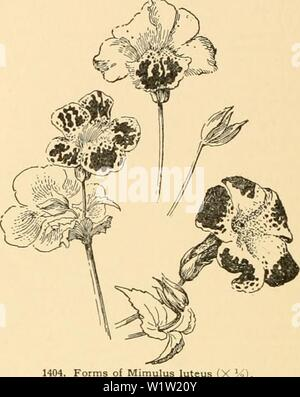 Archive image from page 549 of Cyclopedia of American horticulture - Stock Photo