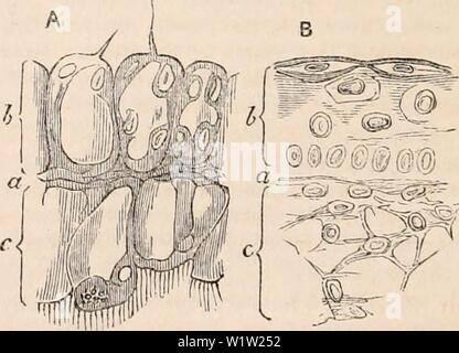 Archive image from page 549 of The cyclopædia of anatomy and - Stock Photo