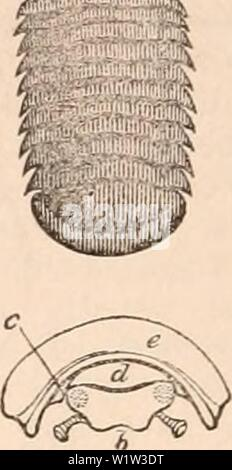 Archive image from page 559 of The cyclopædia of anatomy and - Stock Photo