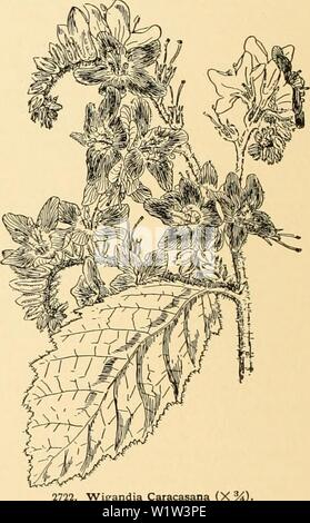 Archive image from page 563 of Cyclopedia of American horticulture - Stock Photo