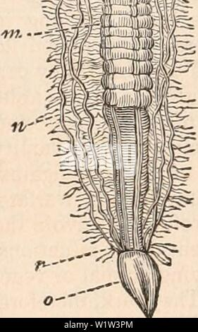 Archive image from page 562 of The cyclopædia of anatomy and - Stock Photo