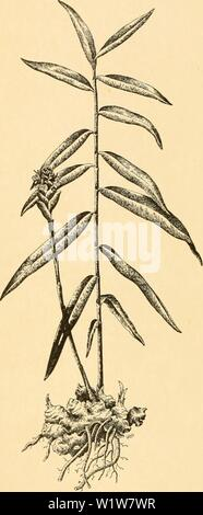 Archive image from page 599 of Cyclopedia of American horticulture - Stock Photo