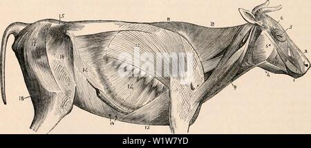 Archive image from page 599 of The cyclopædia of anatomy and - Stock Photo