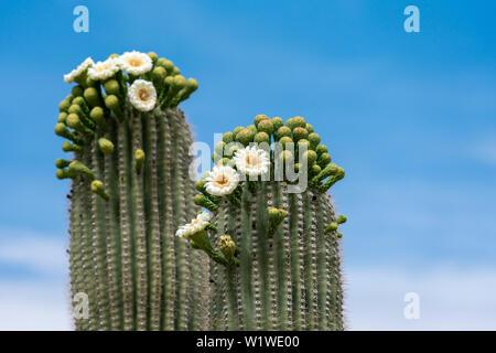 Saguaro Cactus Flowers on top against sky - Stock Photo