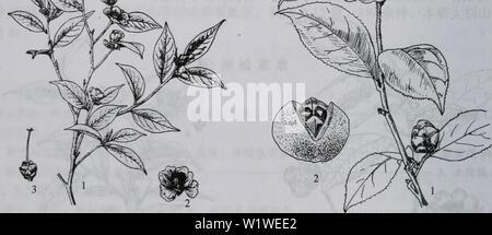 Archive image from page 775 of da bie shan zhi wu. da bie shan zhi wu zhi  dabieshanzhiwuzh00zixi Year: 2006.9 图1085浙江红山茶 1.花枝;2.雄蕊;3.雌蕊;4、 5.果;6.种子 - Stock Photo