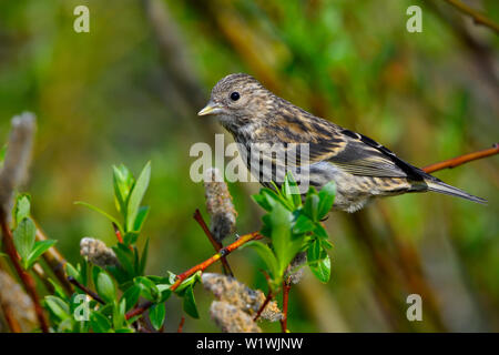 A side view of a Pine Siskin 'Carduelis pinus',  perched on a willow tree branchin a forested habitat in rural Alberta Canada - Stock Photo