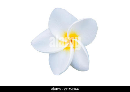 Beautiful white plumeria rubra flower isolated on White background. - Stock Photo