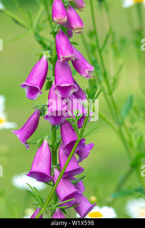 Foxglove flower head about to be enveloped by the twining stem of Goosegrass (Galium aparine). - Stock Photo