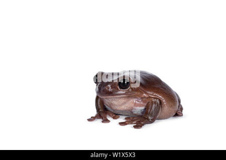 Cute brownish Australian green tree frog sitting side wards, looking straight ahead. Isolated on white background.