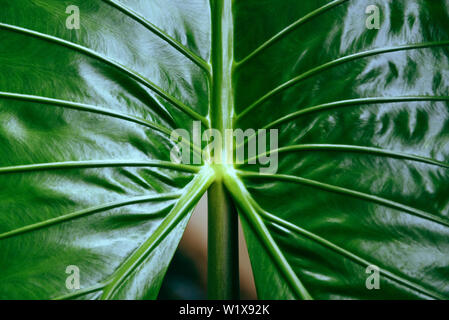 Green leaves pattern texture background giant taro leaf araceae / plants water weeds in tropical forest - ear elephant leaf Alocasia Indica - Stock Photo