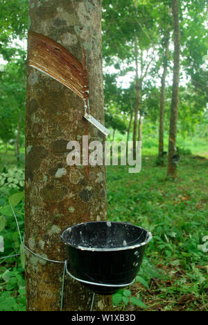 Rubber plantation in Thailand Abundant. Rubber production. - Stock Photo