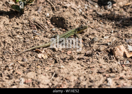 A green reticulated common wall lizard on a boulder ground in the sunshine. Frankfurt am Main. - Stock Photo