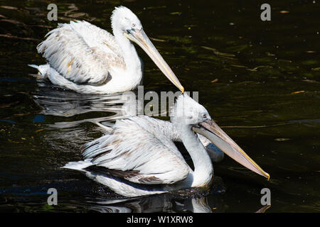 Dalmatian Pelican Pelecanus crispus with fluffy feathers on his head swims in the pond - Stock Photo