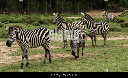 View of some beautiful african zebras (African  equids)  walking in a row on a green grass ground. - Stock Photo