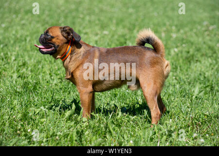 Cute petit brabancon puppy is standing on a green grass. Pet animals. Purebred dog. - Stock Photo