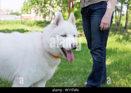 White siberian husky with blue eyes is standing on a green meadow with his owner. Pet animals. Purebred dog. - Stock Photo