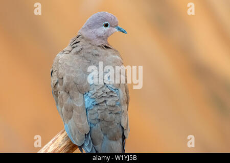 A close up of a laughing dove (Spilopelia senegalensis) sits on a ledge in the United Arab Emirates with a soft brown background. - Stock Photo