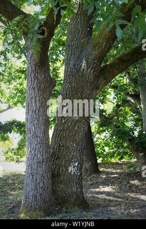 A paradox walnut tree, at Luther Burbank's Experiment Farm in Sebastopol, CA, USA. - Stock Photo