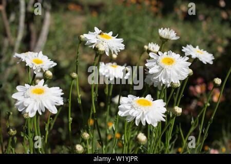 Leucanthemum × superbum 'Sunny Side Up' shasta daisy, at Luther Burbank's Experiment Farm in Sebastopol, CA, USA. - Stock Photo