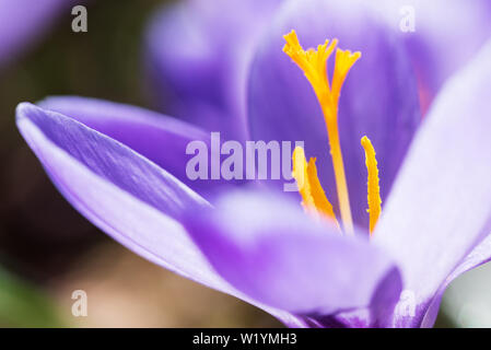 Spring crocuses showing pistil and stamens - Stock Photo