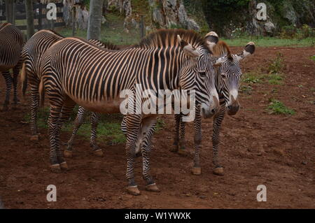 Portrait Of A Beautiful Couple Of Zebras In The Natural Park Of Cabarceno Old Mine For Iron Extraction. August 25, 2013. Cabarceno, Cantabria. Holiday - Stock Photo