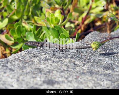 Iberian wall lizard, Podarcis hispanica, Spanische Mauereidechse, spanyol bordásgyík, São Miguel Island, Azores, Açores - Stock Photo