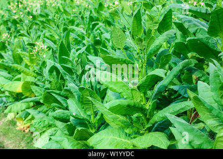 the tobacco leaves are green in a tobacco field - Stock Photo
