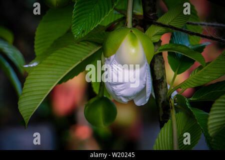 Chulta tree Dillenia indica, Elephant apple on tree or Chalta of South East Asia Dillenia indica - Stock Photo