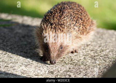 European hedgehog in UK garden - Stock Photo