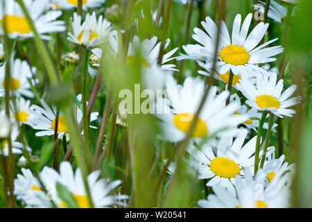 Ox-eye Daisy, Dog Daisy or Marguerite (leucanthemum vulgare), close up of a cluster of flowers reaching up through the undergrowth. - Stock Photo