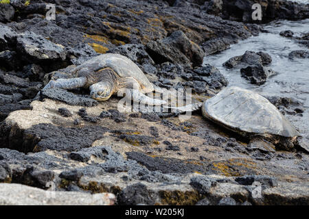 Endangered sea turtles sunning themselves on a rocky shoreline - Stock Photo