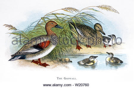 Gadwall (Anas strepera), vintage illustration published in 1898 - Stock Photo