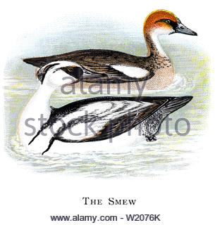 Smew (Mergus albellus), vintage illustration published in 1898 - Stock Photo