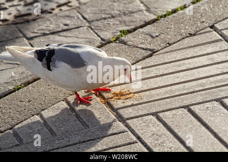 White dove eating a cookie on city sidewalk. Outdoor - Stock Photo