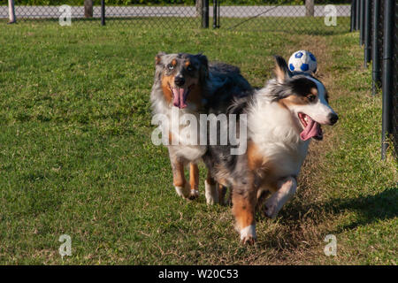 Two happy blue merle Australian Shepherds playing in the dog park. - Stock Photo