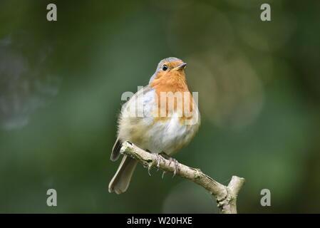 European Robin against plain green background - Stock Photo