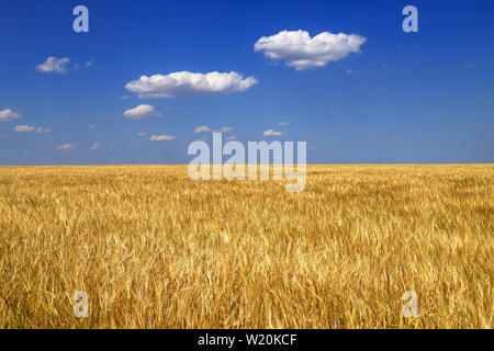 Ripe golden ears of wheat in the field against the blue sky, background. Close up nature Idea of a rich harvest in summer, background as the Ukrainian - Stock Photo